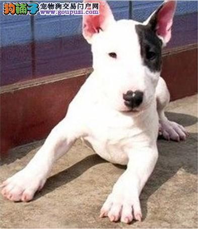 牛头梗幼犬出售 保障健康终身保证血统