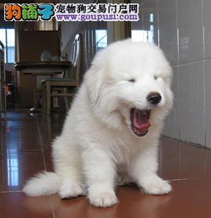 《大白熊专售区》大白熊幼犬,大白熊价格,大白熊纯度