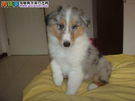 极品苏格兰牧羊犬幼犬,血统认证保健康,签订正规合同