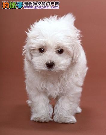基地繁殖 西高地幼犬 纯种健康质保 签订协议00