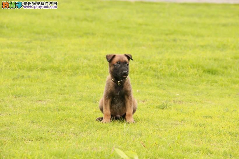 北京自家繁殖的纯种马犬找主人终身售后保障