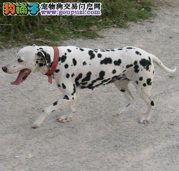 三亚专业的斑点狗犬舍终身保健康请您放心选购