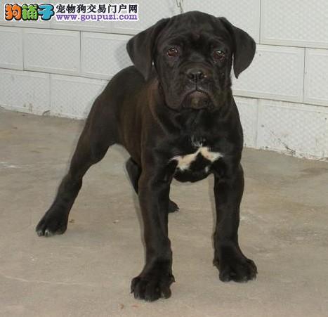 卡斯罗幼犬尚佳卡斯罗犬值得拥有