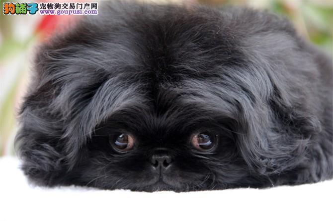 纯种京巴犬幼犬出售 CKU血统认证 品质有保证