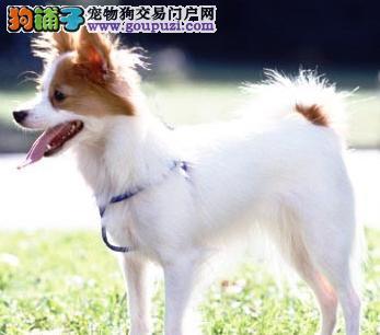 漂亮可爱的蝴蝶犬出售