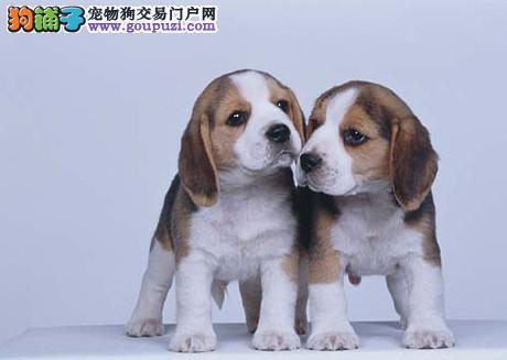 家养比格犬幼犬宝宝出售 杜绝欺诈 可上门看父母