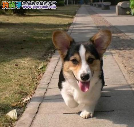 重庆哪里有卖柯基犬 什么地方有卖好点的柯基犬