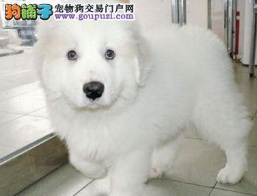 出售纯种大白熊幼犬健康质保 欢迎选购