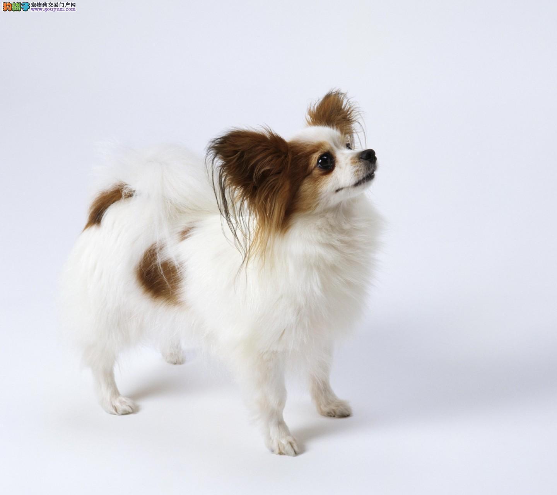 自家的狗狗纯种蝴蝶犬 惹人喜爱 温顺宜