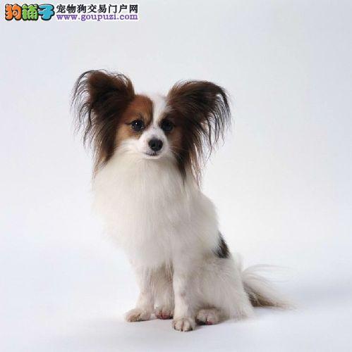 西安出售蝴蝶犬颜色齐全公母都有一宠一证视频挑选