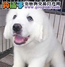 纯洁可爱大白熊,可爱的一塌糊涂。