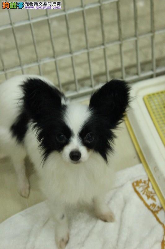 黑白立耳包纯种健康的蝴蝶犬待售
