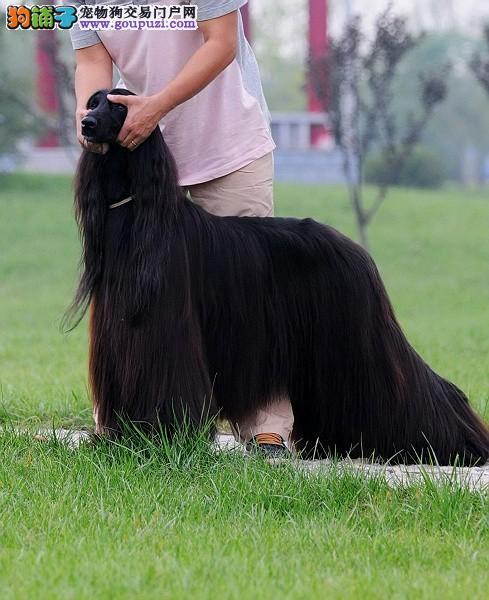 海口CKU认证犬舍出售高品质阿富汗猎犬诚信经营良心售后