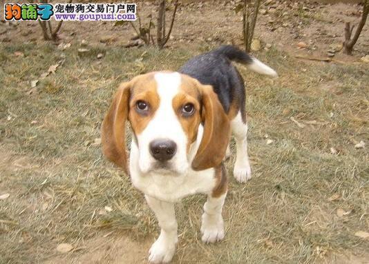 比格幼犬,保纯种,保健康,包售后
