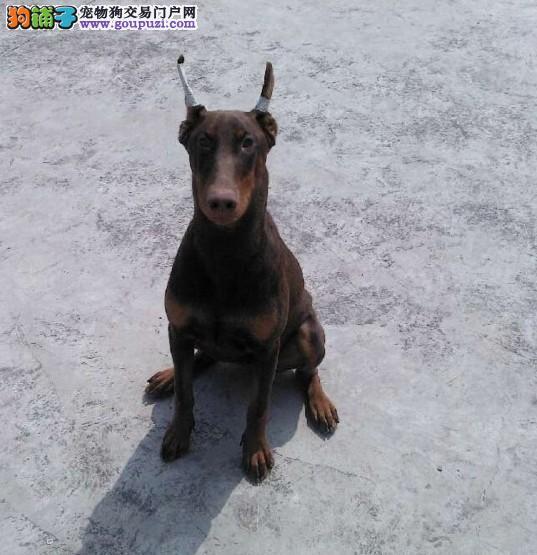 杭州哪里有卖纯种的杜宾犬 杭州哪里出售健康的杜宾犬