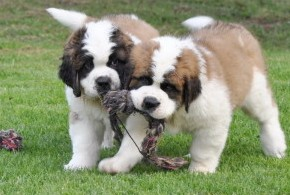 全国最大纯种犬繁育基地 现火爆出售圣伯纳幼犬可送