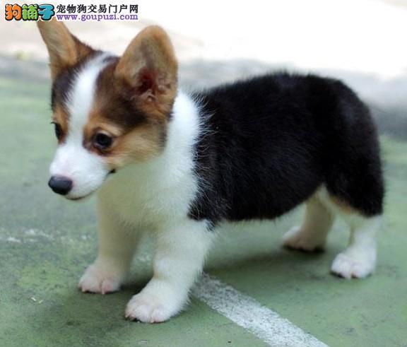 出售威尔士级柯基幼犬品相好健康有保障 可签购犬协议