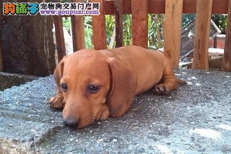 出售自家繁殖腊肠犬 血统纯正 品相好 售后有保证