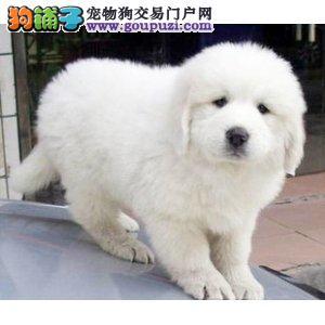 犬舍专业繁殖纯种大白熊幼犬 欢迎来实体狗场挑选