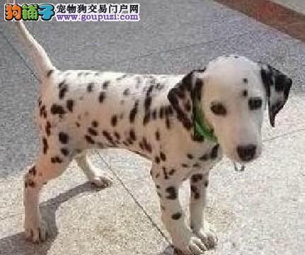 CKU认证犬舍 专业出售极品 斑点狗幼犬爱狗人士优先