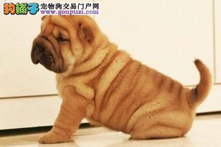 贵阳哪有卖沙皮狗,沙皮狗有毛吗,沙皮狗好养吗