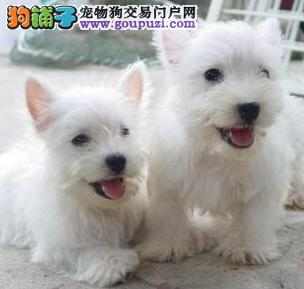 厂家出售西高地犬纯种健康售后协议有保障