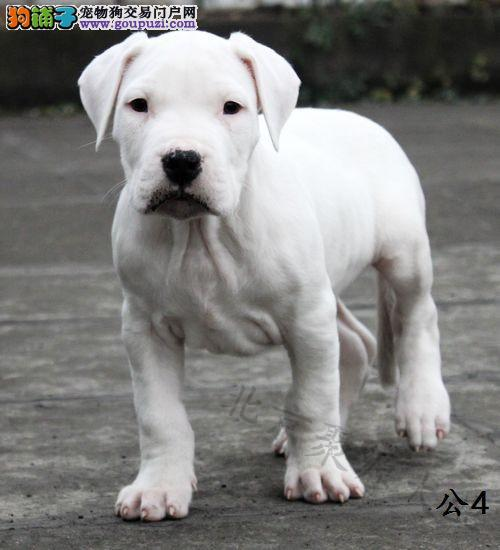 引自于阿根廷杜高猎犬 保纯种 保血统 打猎没问题