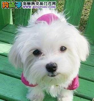 正宗小体型马尔济斯犬 质量保证 血统保证 CUK官方注册
