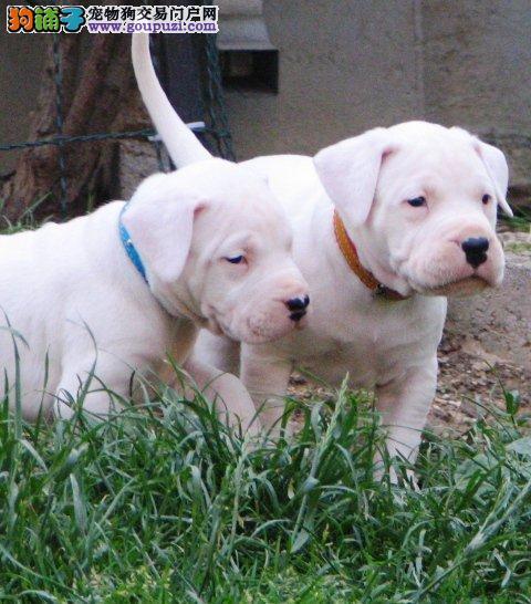 猎犬繁殖 出售会打猎的阿根廷杜高犬 可实地选购
