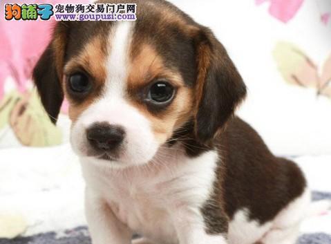 米格鲁比格犬幼犬纯种米格鲁宝宝欢迎选购