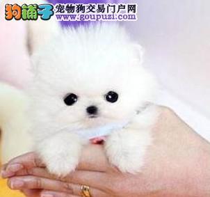 实物拍摄的福州茶杯犬找新主人保障品质一流专业售后