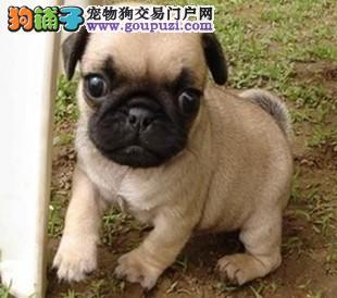 精心培育 | 憨厚可爱的(皱脸巴哥幼犬)特价出售