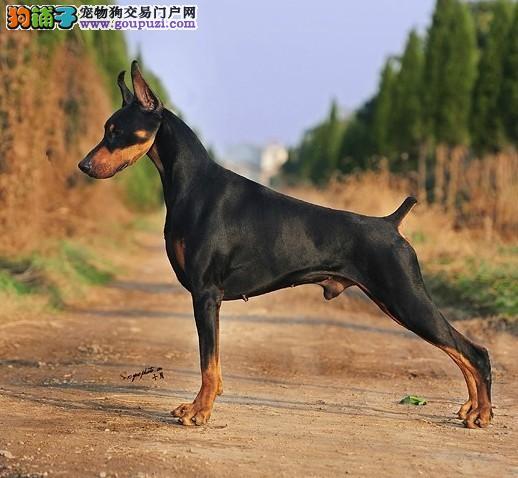 广州哪里有低价出售杜宾幼犬啦 血统纯正的