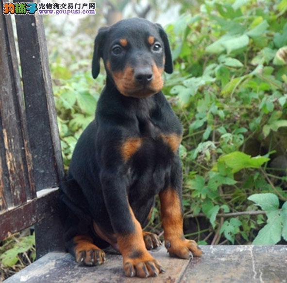深圳什么地方有卖杜宾犬 深圳杜宾犬在哪里买