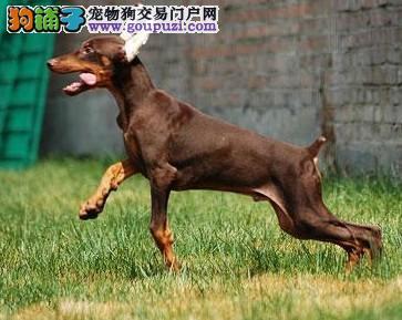 出售纯种杜宾犬幼犬纯种杜宾犬 公母都有