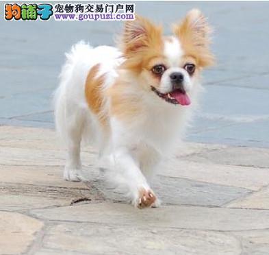 纯种大耳朵蝴蝶犬,保证血统和健康 有血统证芯片