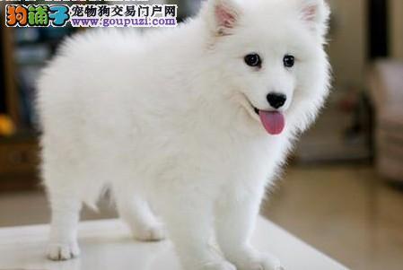 AC国际联保专业繁殖赛级银狐幼犬/品质保证-终身质保