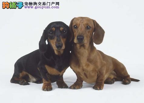 CKU认证繁殖基地出售双冠纯种腊肠犬纯血统