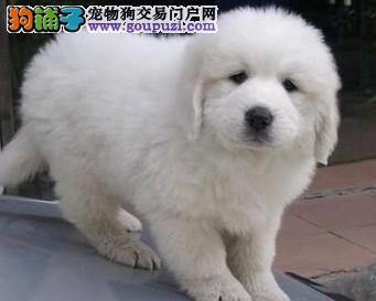 纯种家养的大白熊幼犬品相好毛量足保证品质