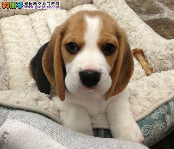 卖比格犬狗狗年龄为1个月