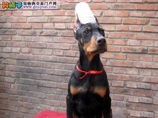 出售高品质迷你杜宾幼犬保证纯种保证健康