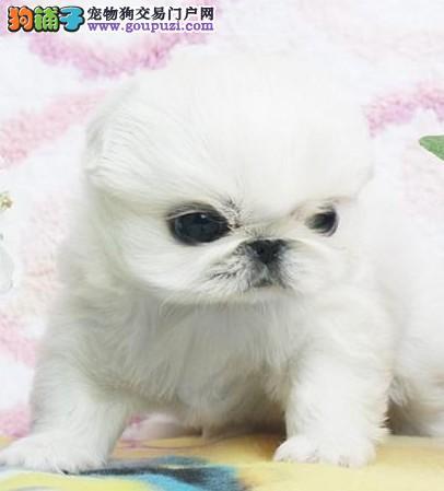 山东哪里买得到 京巴幼犬 购买有保证!