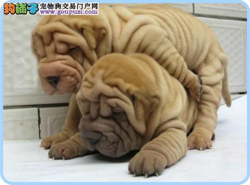 极品沙皮宝宝 血统好 CKU认证犬 签订购犬协议