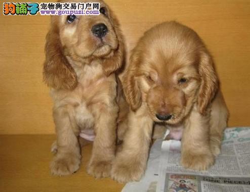 出售纯种可卡公母幼犬有品质保证