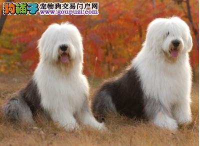 长沙哪里有古代牧羊犬出售的 纯种古牧多少钱一只