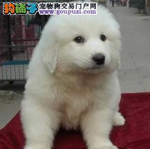 长沙出售大白熊犬包纯种健康