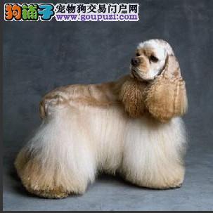 纯种繁殖基地售出高品质可卡幼犬三针做齐签质保可