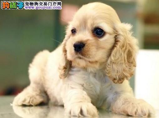 CKU.认证犬业.专业繁殖可卡犬. 绝对信誉.