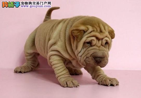 沙皮狗的价格多少哪有卖广州沙皮