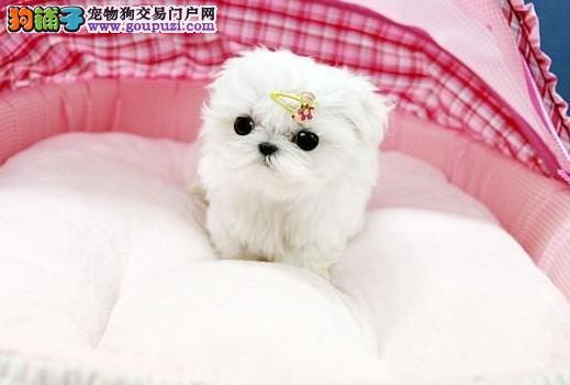 广州博美宠物狗 广州博美犬 广州松鼠犬价格多少